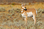 Pronghorn Female, Blacktail Plateau, Yellowstone National Park, Wyoming