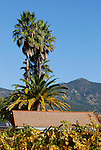vineyard and palms near Calistoga