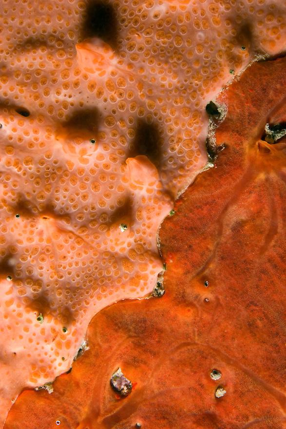 Detail of rock covered with encrusting sponge (Spirastrella cunctatrix) and (Phorbas tenacior) Larvotto Marine Reserve, Monaco, Mediterranean Sea<br /> Mission: Larvotto marine Reserve