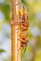 Hornets (vespa crabro) stripping bark from birch sapling and drinking sap. Surrey, UK.