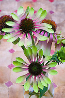 Echinacea purpurea Green Envy cut flowers