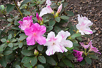 Azalea Encore 'Autumn Twist' Rhododendron in bloom in summer, with two kinds of large flowers, pink, and white with purple pink markings, reblooming shrub new variety