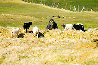 Herd of Icelandic sheep on a windy day