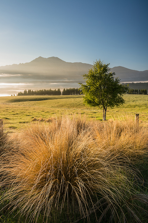 Tussock grass, High Country, Canterbury, New Zealand - stock photo, canvas, fine art print