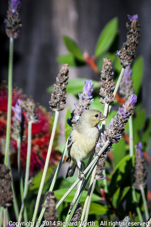 A back-yard safari netted yellow American Goldfinches, with bands of black or gray and white, all dull winter shades of their more brilliant summer selves. They were happily feeding, not to mention bouncing and swaying,  on a lavender plant.