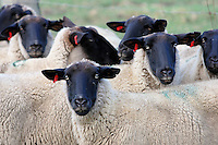 Black faced sheep.<br /> <br /> Larger JPEG + TIFF images available by contacting use through our contact page at :..www.photography4business.com