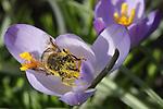 Foto: VidiPhoto<br /> <br /> VALBURG - Met af en toe een voorzichtig zonnetje en temperaturen rond de 10 graden liet de lente zich dinsdag nadrukkelijk gelden. Behalve dat krokussen en sneeuwklokjes al uitbundig bloeien, begonnen in Valburg in de Betuwe verrassend genoeg ook de eerste bijen te vliegen en stuifmeel te vergaren. Sommige bijen verzamelden zoveel stuifmeel in &eacute;&eacute;n keer, dat ze met een zichtbaar te hoog promilage rondvlogen en hun werk nauwelijks meer konden doen. De temperaturen blijven voorlopig schommelen rond de 10 graden Celsius en dat is iets boven normaal. Het blijft wel wisselvalig weer.