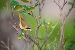 Yellowthroat with worm, Maine