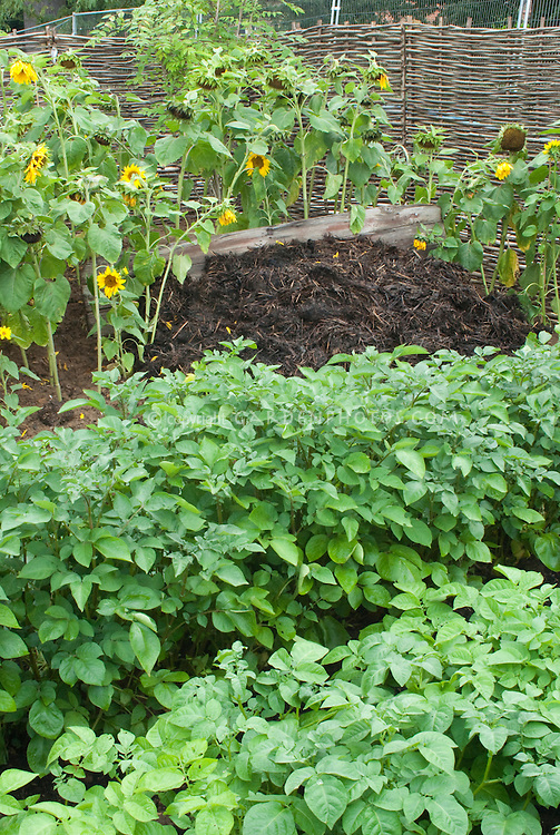 Composted Manure pile + potato plant vegetables and sunflowers