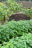 Composted Manure pile + potato plant vegetables and sunflowers. Organic fertilizer for the garden.