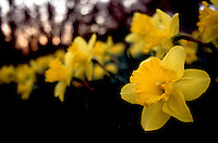 Daffodil Narcissus in spring, yellow flowering bulb, little depth of field, early morning dawn