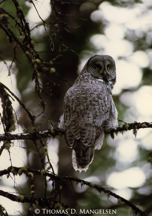 A Great Gray Owl looks out from its perch in a moss covered tree in Yellowstone National Park.
