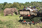 African elephant, Loxodonta africana, being watched by tourists, Makalali game reserve, South Africa