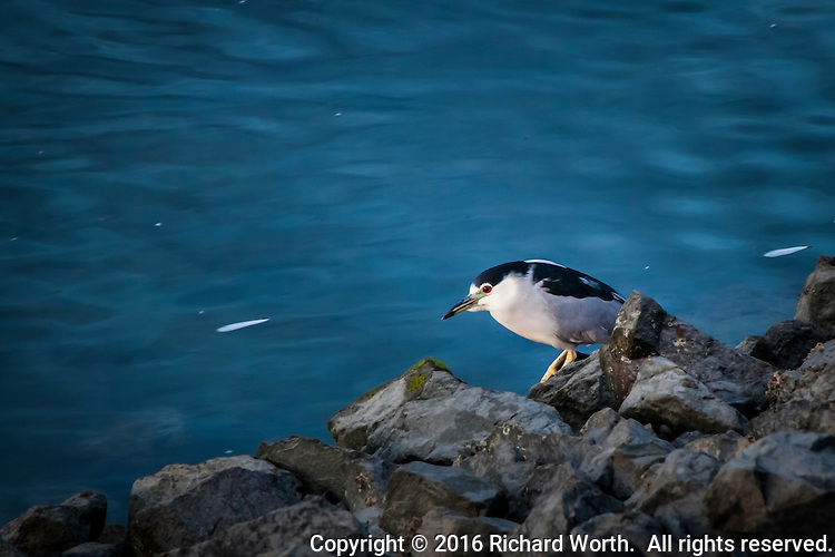 A Black crowned night heron stands on the rocky shore of the San Leandro Marina at dusk, its usual feeding time.