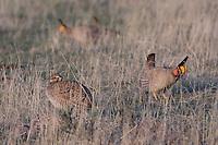 Lesser Prairie-Chicken, Tympanuchus pallidicinctus, male and female courtship, Canadian, Panhandle, Texas, USA, February 2006