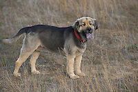 Shepard mix dog standing in tall grass in a field