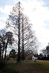 February 2, 2012. Hillsborough, NC.. Two met sequoia trees stand tall near the house that Nancy Goodwin lives in with her husband Craufurd..  Nancy Goodwin, who used to run a mail order nursery for rare bulbs, has now preserved her gardens, which in winter, have thousands of blooming flowers and plants, including many rare species which she has cultivated and planted from seeds.