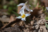 Courtesy photo/TERRY STANFILL<br /> WINTER BLOSSOM<br /> A trout lily is shown in bloom. Terry Stanfill took the picture Feb. 29, 2016 at his home near Decatur.
