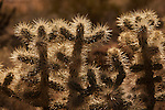 Teddy Bear Cactus in Southwestern Utah.
