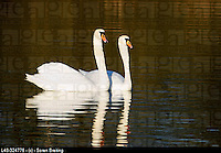 White swans, Mute swane (Cygnus olor) swimming in pair at lake in Europe as part of their courtship in early breeding season
