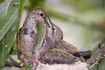 La Jolla, California; a female Anna's Hummingbird (Calypte anna) sitting on the edge of her nest feeding her two, three week old chicks