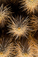 Detail of the thorn covered teddy-bear cholla (Cylindropuntia bigelovii) cactus, Baja California, Mexico