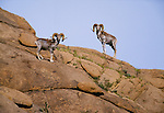 Argali or mountain sheep, Dundgov Province, Mongolia