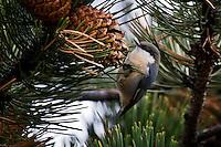 Pygmy Nuthatch feeding on Pine Cones