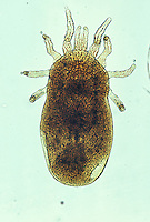 Chicken Mite or Red Mite (Dermanyssus gallinae). LM