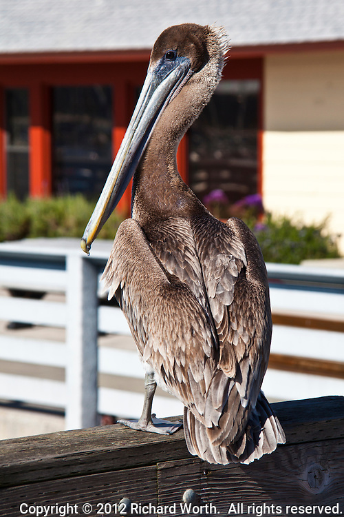 A Brown pelican from the back at Pillar Point Marina, Half Moon Bay, California.
