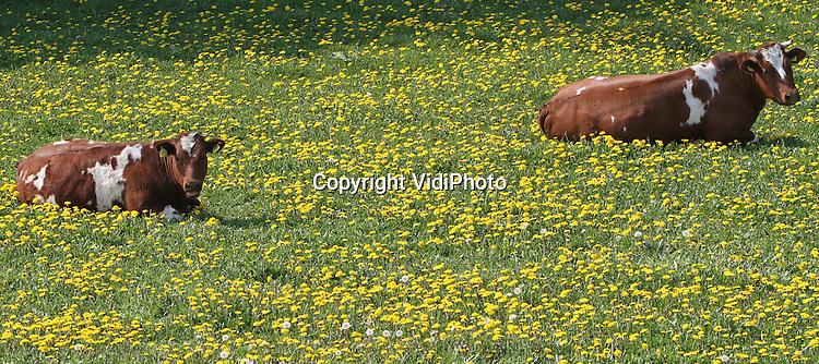 Foto: VidiPhoto..KESTEREN - Nog even genieten van de laatste zonnestralen, voordat de regen valt. Jong vee in een weiland met paardebloemen bij het Betuwse Kesteren. Koeien zijn niet bepaald dol op paardenbloemen. Ze smaken namelijk niet. Bovendien duwen de bladeren van de paardenbloemen het gras weg en is het resultaat voor veehouders een lagere voedselproductie per hectare. Het levert alleen een mooi plaatje op.