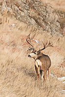Mule deer (Odocoileus hemionus) trophy buck in Colorado
