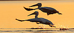 Two white pelicans fly in the sunset in the Wakulla County coastal waters south of Tallahassee, Florida.   (Mark Wallheiser/TallahasseeStock.com)