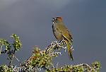 Green-tailed Towhee (Pipilo chlorurus), (male) singing in spring, Mono Lake Basin, California, USA