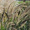 Pennisetum alopecuroides 'Fairy Tails', mid October.
