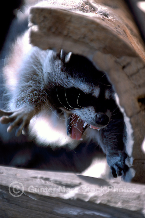 Snarling Wild Raccoon (Procyon lotor) climbing in Hollow Tree Trunk