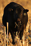 CM-12/27/03 North Platte, Neb. A Black Angus  Triple B Angus Knoll Ranch Saturday evening..For a story on Mad Cow Disease and its affect in Nebraska. (photo by Chris Machian/Prairie Pixel Group).