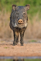 650520260 a wild javelina or collared peccary on santa clara ranch hidalgo county rio grande valley texas united states