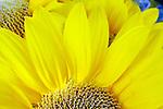 Golden Glow, Sun Flower