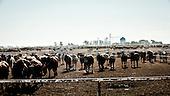 """South West Kansas, USA, August 2011:.View of giant feedyard.  Millions of cows are gaining weight in such feedyards across the region, where four huge meatpacking plants of National Beef, Cargill and Tyson slaughter and process about 20 thousand cattle a day. Kansas dominates American beef industry, by producing one quarter of all beef in the USA..(Photo by Piotr Malecki / Napo Images)..Pd-Zach Kansas, Stany Zjednoczone, Sierpien 2011:.Bydlo i elewatory na pasze z genetycznie modyfikowanej kukurydzy w jednej z tuczarni zwanych """"feedyards"""". W tym rejonie jest mnostwo takich tuczarni, by zaopatrywac cztery wielkie zaklady miesne nalezace do firm National Beef, Cargill i Tyson. Zaklady te przerabiaja razem okolo 20 tysiace sztuk bydla dziennie.  Stan Kansas zdominowal rynek wolowiny w Stanach Zjednoczonych, produkujac jedna czwarta calej amerykanskiej wolowiny. Amerykanski przemysl miesny jest bardzo uzalezniony od taniej sily roboczej, ktora daja emigranci..Fot: Piotr Malecki / Napo Images."""