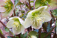 Hellebore 'Pink Frost' flowers with closeup of stamens and pistils