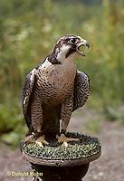 Hawks, Eagles