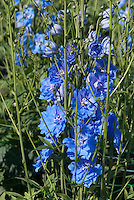 Delphinium 'Centurion Sky Blue', start early from seed