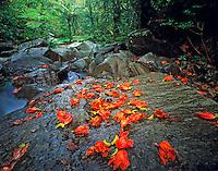 Fallen blossoms in rain forest, El Yungue Rainforest, Puerto Rico