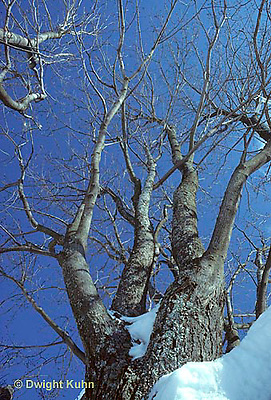 TT12-008z  Red Maple - winter - Acer rubrum