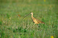 Long-billed Curlew, Numenius americanus, on prairie at Rita Blanca National Grassland, north of Dalhart, Texas, AGPix_0075.