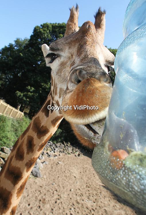 Foto: VidiPhoto..RHENEN - De giraffen van Ouwehands Dierenpark in Rhenen krijgen dinsdag groenten en fruit uit een plastic fles. De dieren moeten veel moeite doen om door de kleine gaten in het plastic het voedsel te bemachtigen. Ouwehands probeert met deze vorm van verrijking de natuurlijke situatie voor de giraffen in de natuur na te bootsen en zo te voorkomen dat dieren zich vervelen. Het Rhenense dierenpark heeft de Gouden Green Key behaald, zo is dinsdag bekend gemaakt. De Green Key is het internationale keurmerk voor bedrijven in de toerismebranche die veel aandacht besteden aan duurzaamheid.