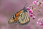 Monarch Butterfly, Danaus plexippus, El Chincua Nature Reserve, feeding on pink flower, nectar, migration, roosting site, lifecycle metamorphosis orange pattern wing.Mexico....