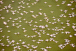 Greater flamingos, Lake Magadi, Rift Valley, Kenya