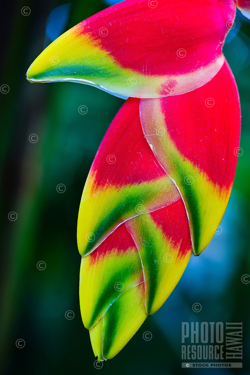 A close-up of a hanging lobster claw or lobster heliconia, Po'ipu, Kaua'i.